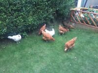 Seven hens for sale £10 each or £60 for all.