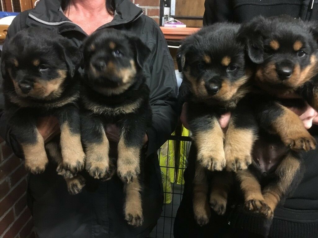 Rottweiler Puppies In Poole Dorset Gumtree