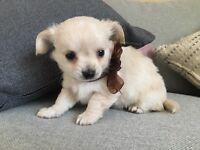 Chihuahua pedigree puppies