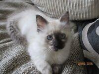 11 Week old Ragdoll kitten for sale