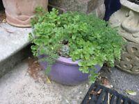 Alpine Garden Plants in Purple Circular Pot Weymouth