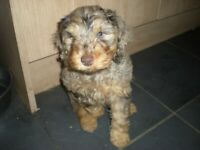 8 weeks old cockapoo one merle male puppy available