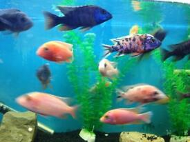 Mixed peacock cichlids for sale