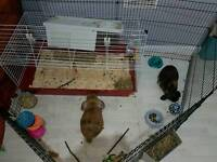 2 male rabbits with full set up