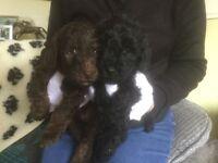 Beddipoo puppies (bedlingtonX miniature poodle