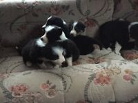 Border collie pups for sale