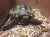 Horsefield tortoise complete with home, food and bedding