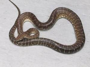 Adult Male Bredli Python Direk Salisbury Area Preview