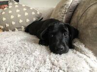 KC registered Labrador puppy for sale!