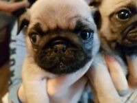 4 fawn pug puppies left from litter of 5 £900-£1000