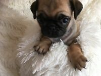 Kc reg pug puppies READY NOW!