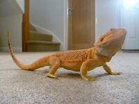 Red Hypo Tiger Leatherback Bearded Dragon for sale