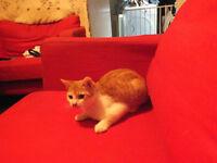 Bengal Cross Kitten