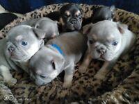 Beautiful French Bulldog Girls and boys