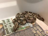 Snake | Reptiles For Sale - Gumtree