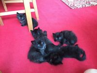 Black kittens (Birman)