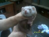 Reduced price for ferret kits