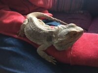 Bearded Dragon fully grown and 4ft vivarium and all accessories