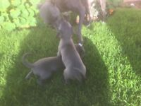 9 Blue Whippet Puppies