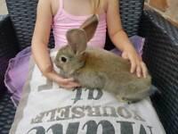 Continental giants rabbits