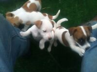 jack russell pups, born on summer solstice night, 8 weeks old, these are magical wee characters,