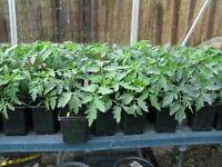 Tomato plants 50p each very healthy plants