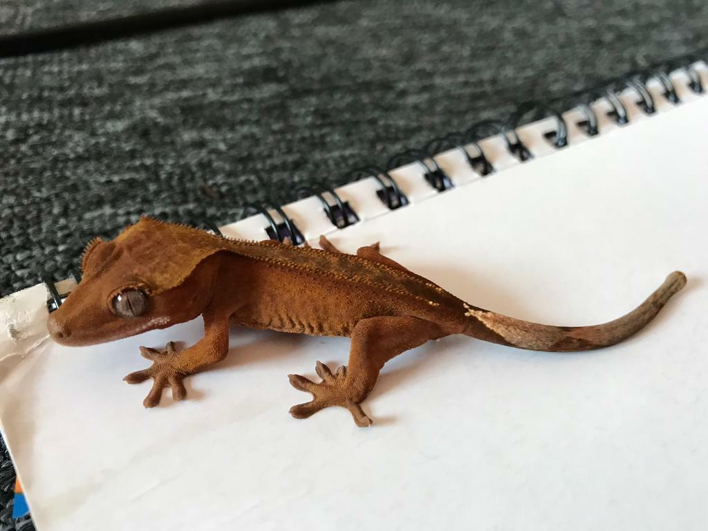 Crested gecko for sale | in Kingskerswell, Devon | Gumtree