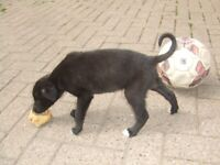 Lurcher Puppies for Sale