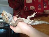 Dragon barbu male -80$