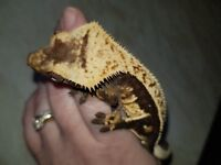Gorgeous dark based harlequin high % pinstripe crested gecko with awesome structure and lineage