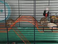 2 gerbil sisters