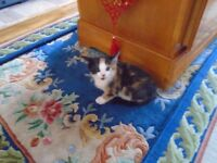 1 Kitten left for sell