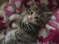 Half British Short Haired Adorable Kittens