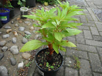 Plant for sale-An Impatiens Balsamina/Balsam plant