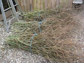 Contorted Willow for Flower arranging etc