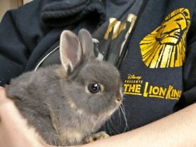 Netherland Dwarf Rabbits - Young female pair