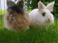 Lion Haired Rabbits