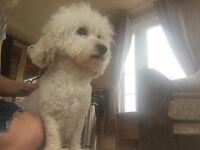 Stunning litter of full pedigree Bichon frise puppies