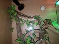Snake forsale