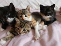 4 female kittens