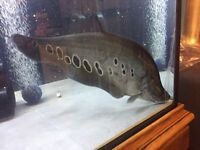 Clown knife fish