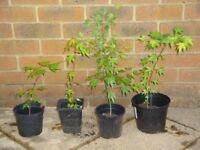 Japanese Maple Acer Palmatum Trees (green leaves) for patio pot or garden