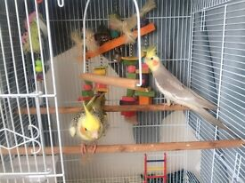 Two beautiful cockatiels with cage,food and game
