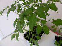 6 Tomato Plants, Gardener's Delight (red cherry)