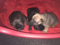 KC French bulldog puppy 1 female left