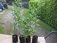 POT GROWN PRIVET PLANTS FOR HEDGING.