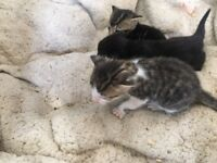 Kittens for sale (2 black, 2 tabby and 2 white and tabby)
