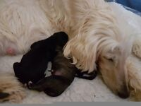 Pedigree Afghan Hound Puppies For Sale.