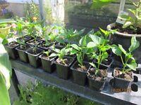 Sweet Pepper plants