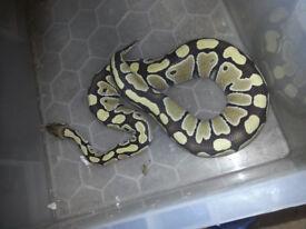 Female desert ghost royal python